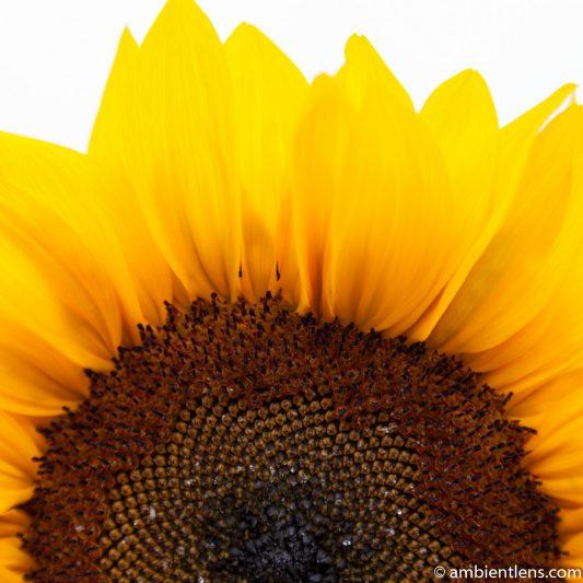 Orange Sunflower 1 (SQ)
