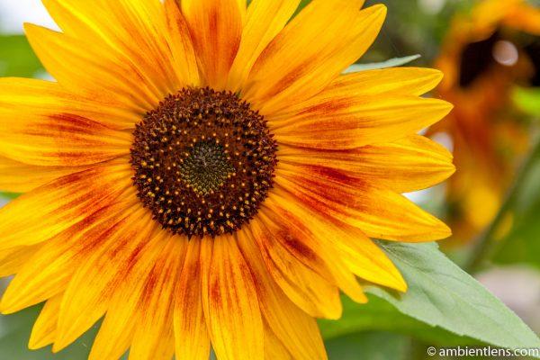 Orange Sunflower 13