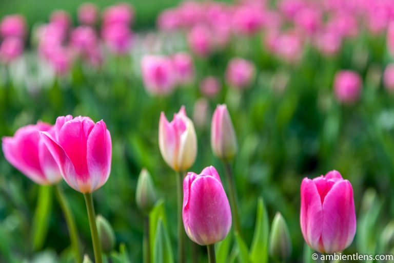 Pink Tulips 4