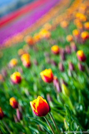 Orange and Yellow Tulips 1