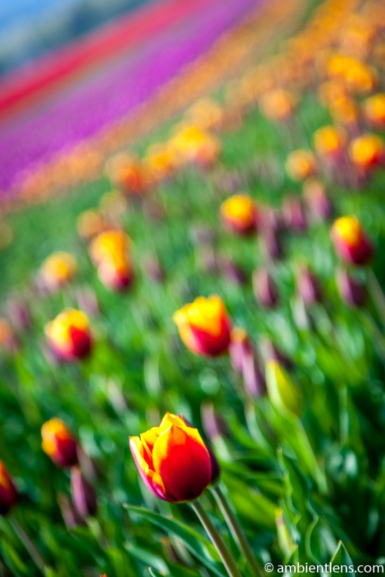 Orange and Yellow Tulips 1