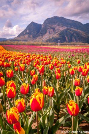 Orange and Yellow Tulips 2