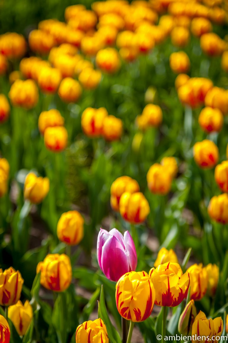 Orange and Yellow Tulips 4