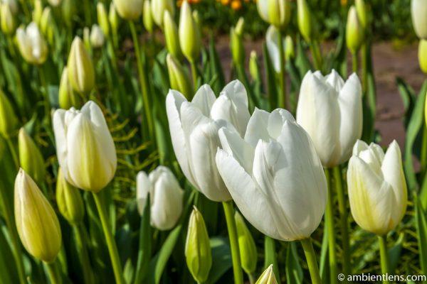 White Tulips 1