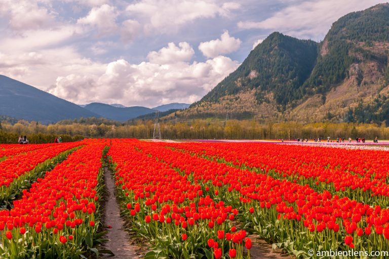 Orange Tulips 1