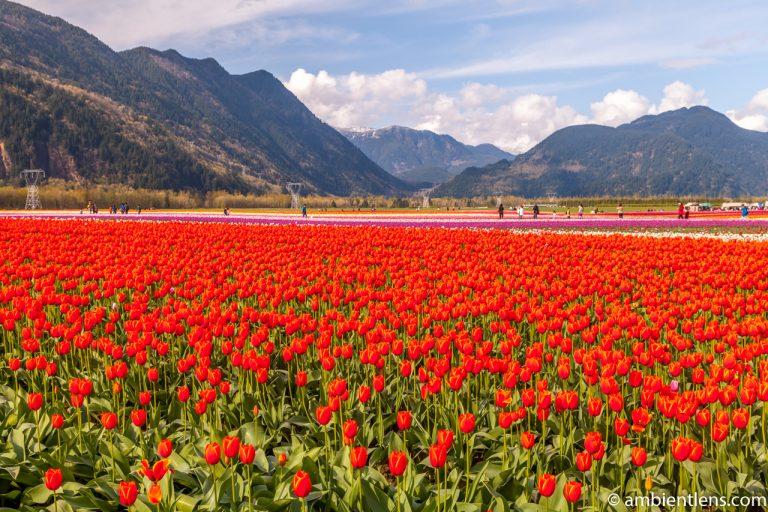 Orange Tulips 2