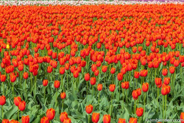 Orange Tulips 4