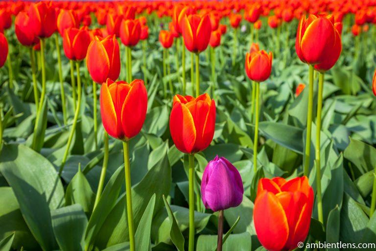 Orange Tulips 5