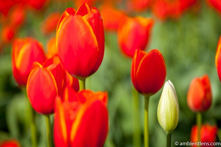Orange Tulips 6