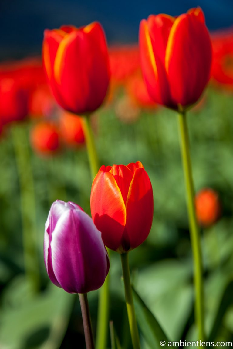 Orange Tulips 9