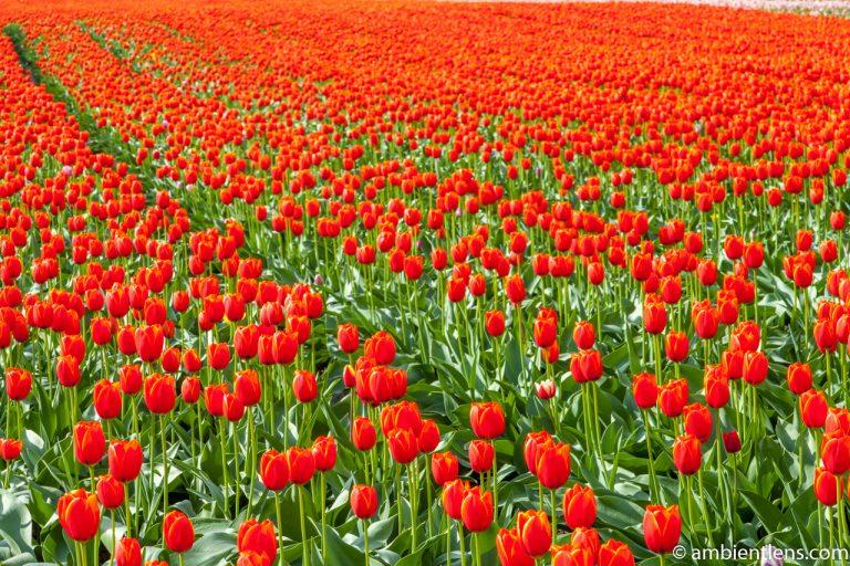Orange Tulips 10