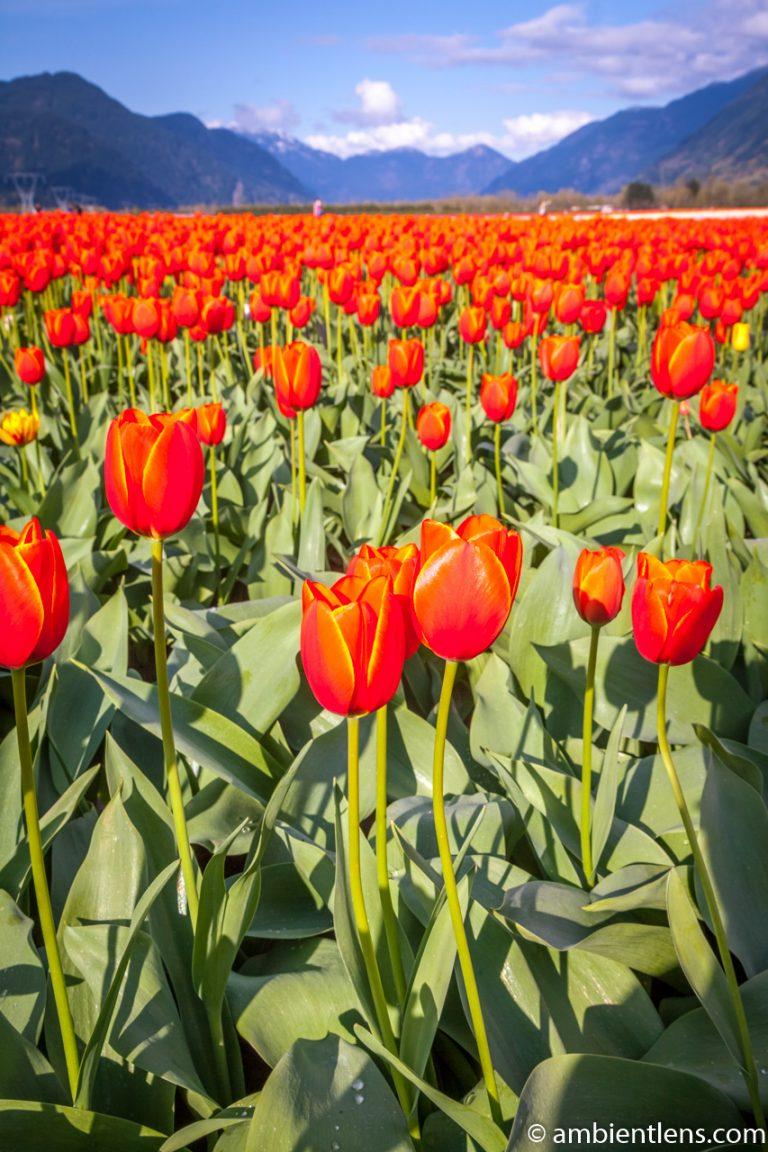 Orange Tulips 11