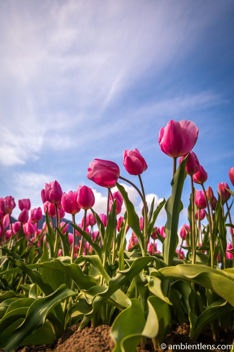 Pink Tulips 6