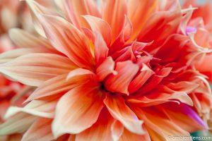 Orange Dahlia 2