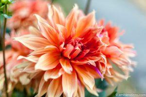 Orange Dahlia 1