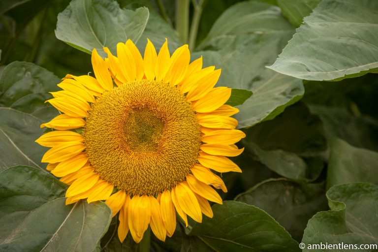 Orange Sunflower 14