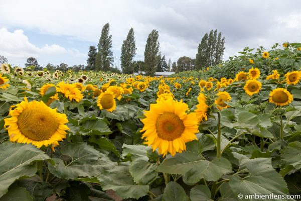 Orange Sunflowers 12