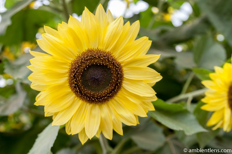 Yellow Sunflower 2
