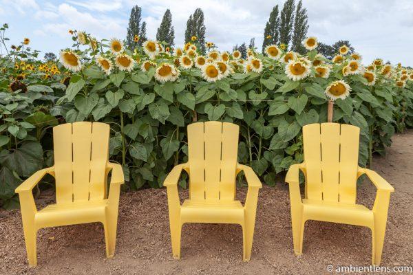 White Sunflowers 3