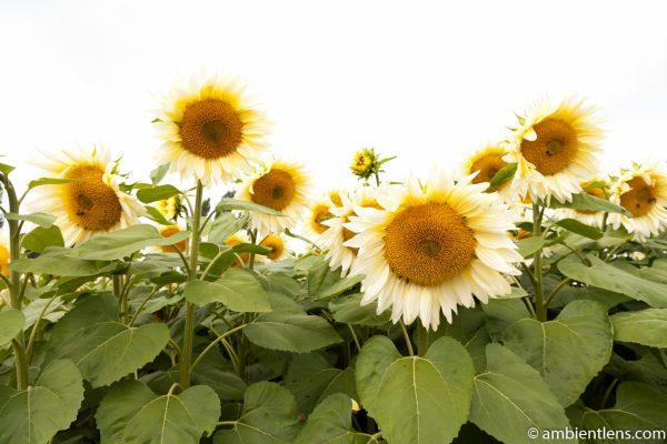 White Sunflowers 1