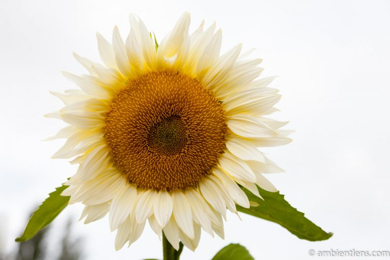 White Sunflower 6