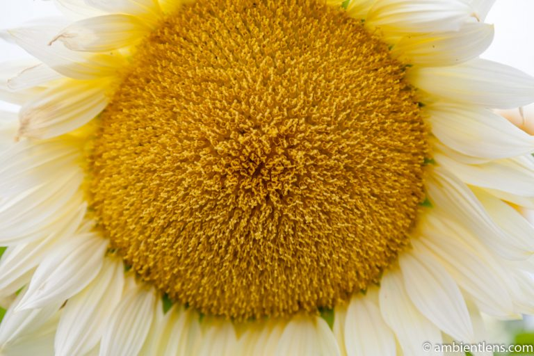 White Sunflower 5