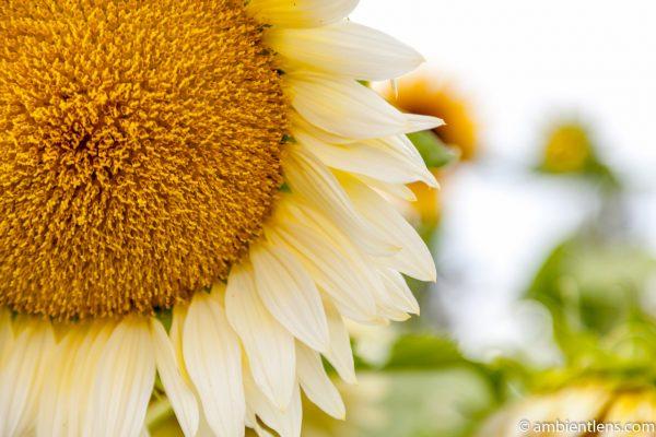 White Sunflower 4