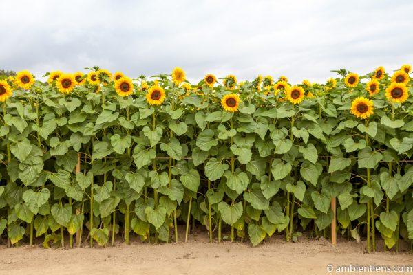 Orange Sunflowers 9