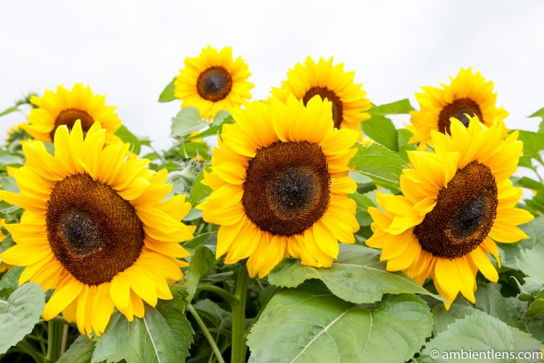 Orange Sunflowers 8