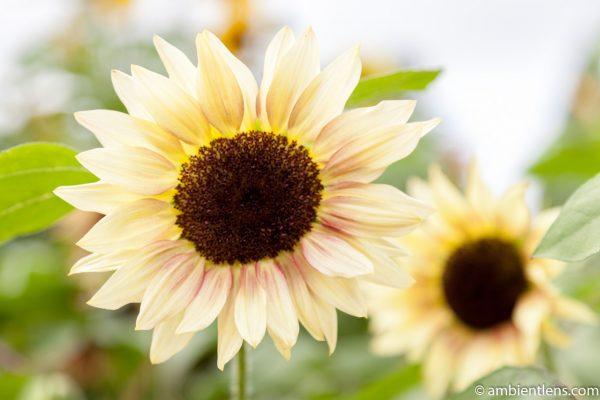 White Sunflower 3