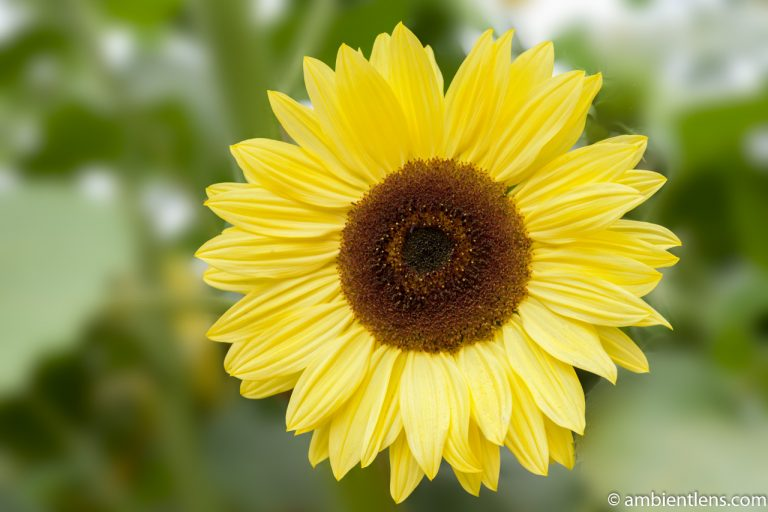 Yellow Sunflower 1