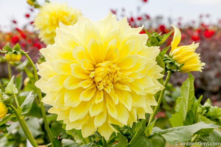Yellow Dahlia 1