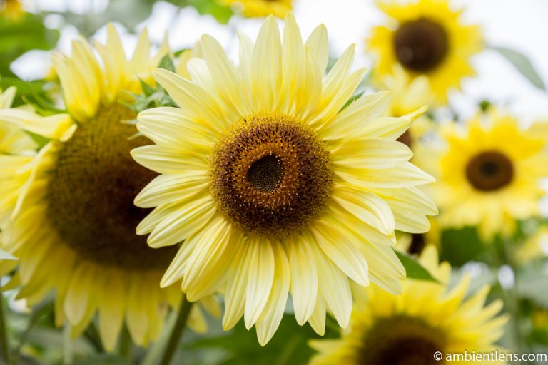 Yellow Sunflowers 1