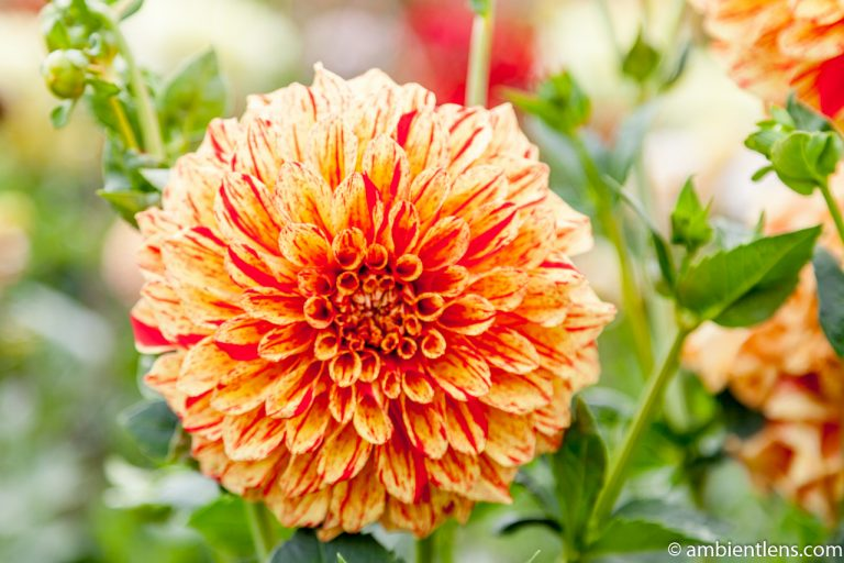 Orange and Red Dahlia 1