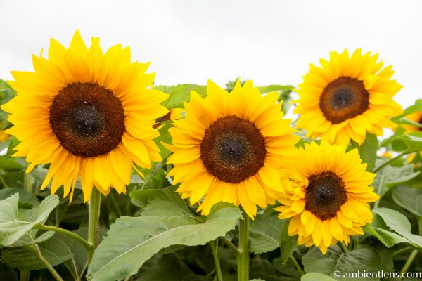 Orange Sunflowers 6