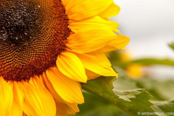 Orange Sunflower 11