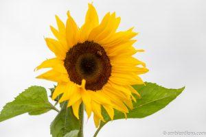 Orange Sunflower 10