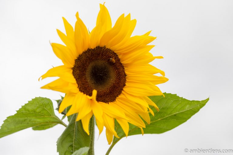 Orange Sunflower 10