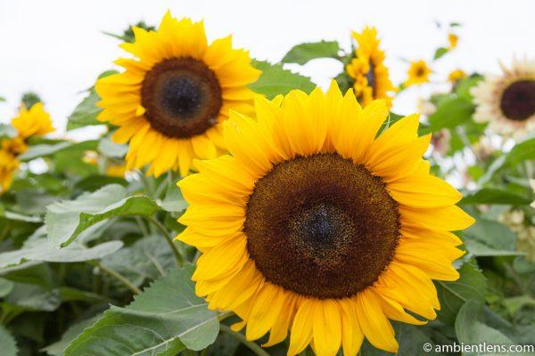 Orange Sunflowers 5