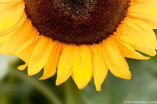 Orange Sunflower 6