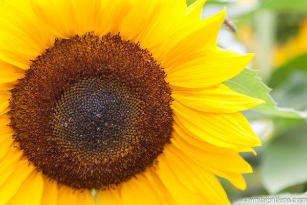Orange Sunflower 5