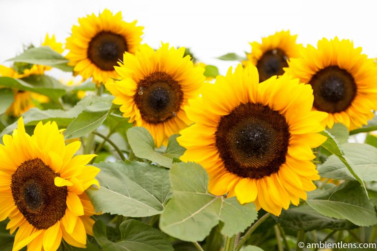 Orange Sunflowers 4