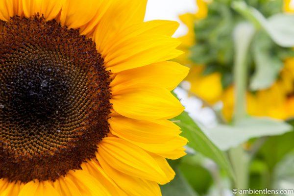Orange Sunflower 3
