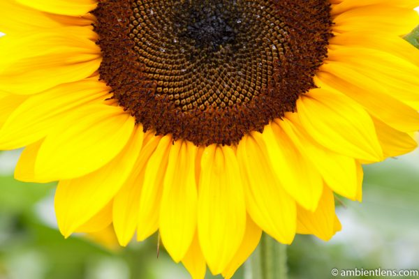 Orange Sunflower 2