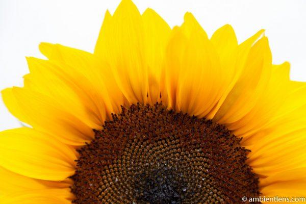 Orange Sunflower 1