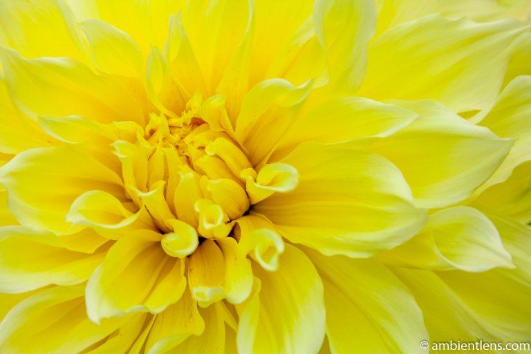 Yellow Dahlia 3
