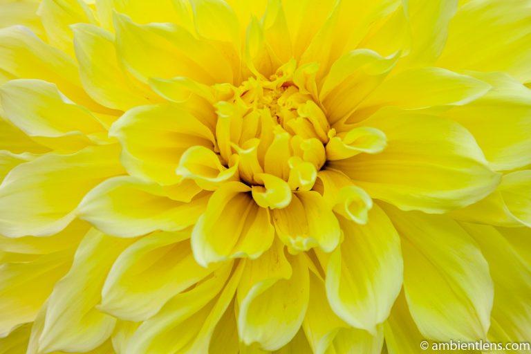 Yellow Dahlia 4