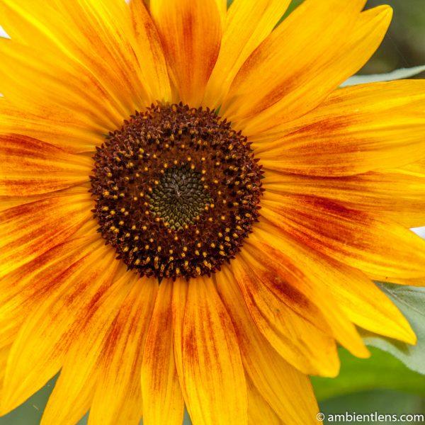 Orange Sunflower 13 (SQ)