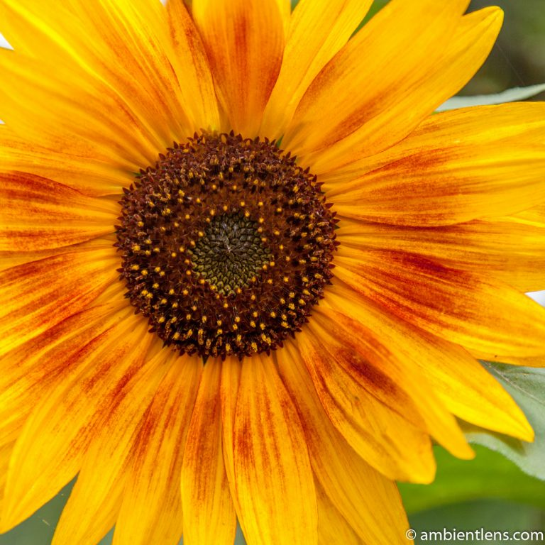 Orange Sunflower 13 (SQ)
