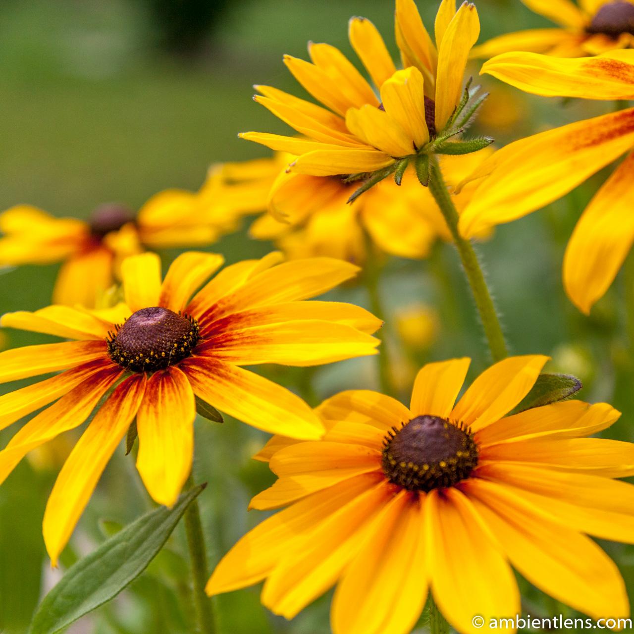 Yellow Daisy 2 (SQ)